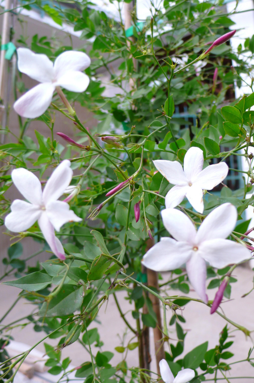 Jasminum officinale affine il giardino azienda floricola for Giardino officinale