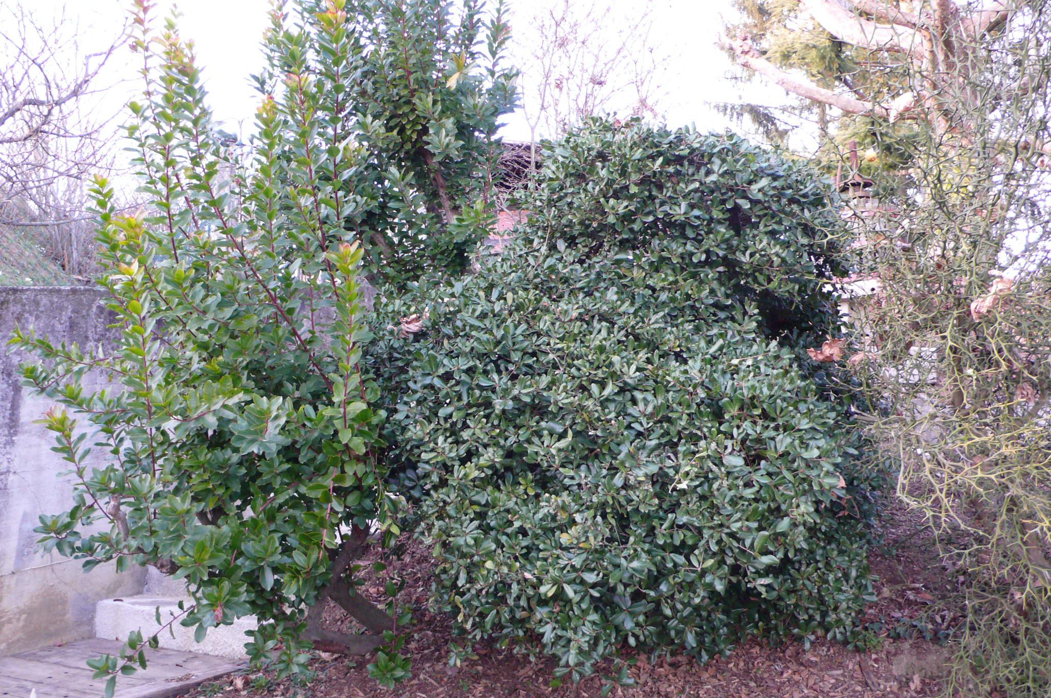 Quercus phillyreoides il giardino azienda floricola for Quercia sempreverde