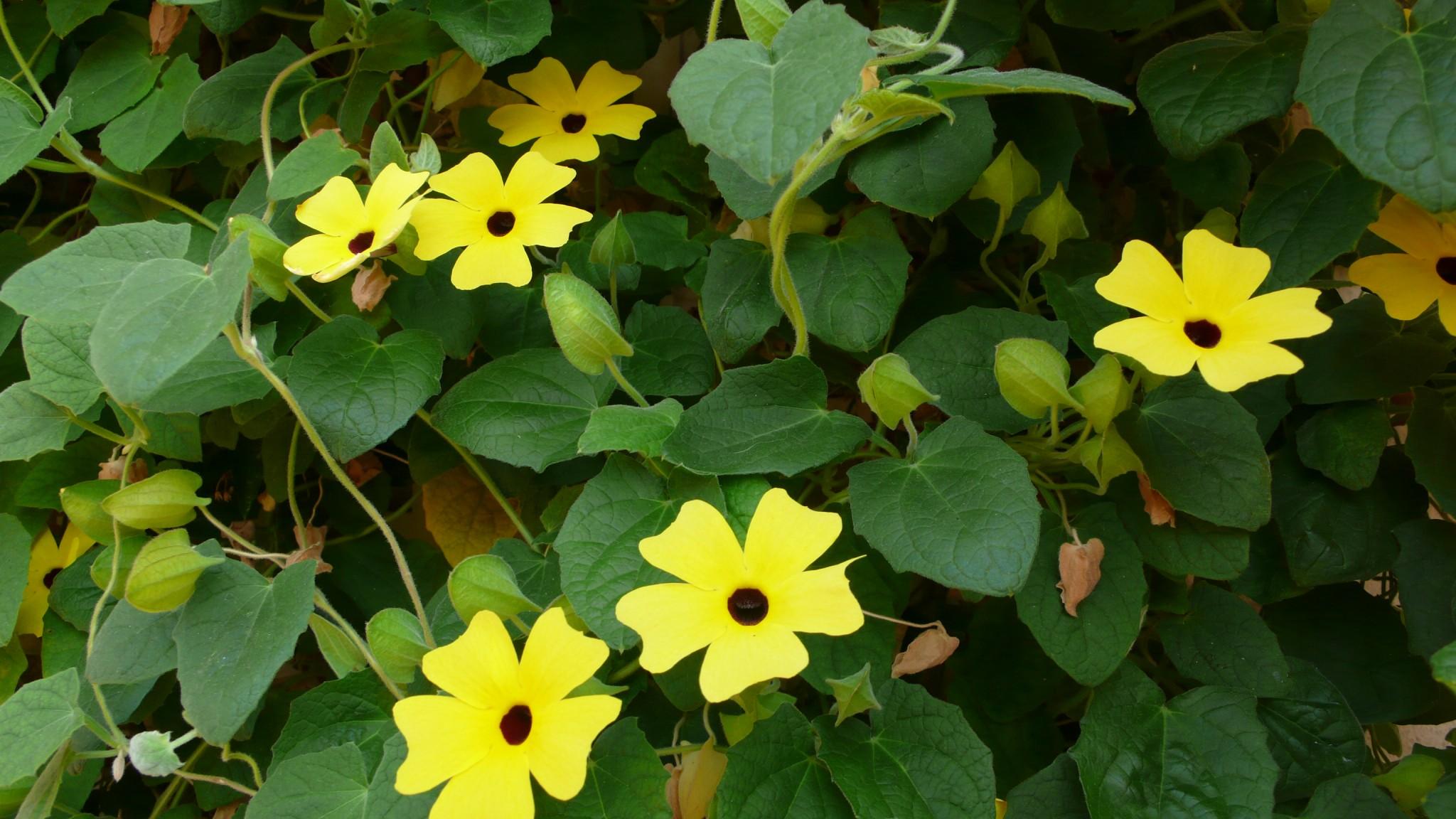 fiori gialli rampicanti