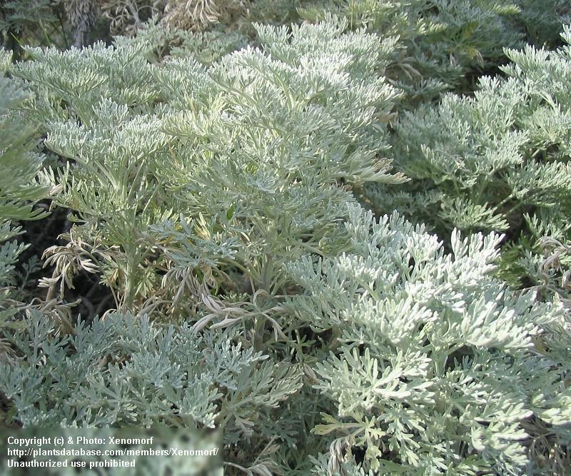 Artemisia arborescens powis castle il giardino azienda - Il giardino dell artemisia ...
