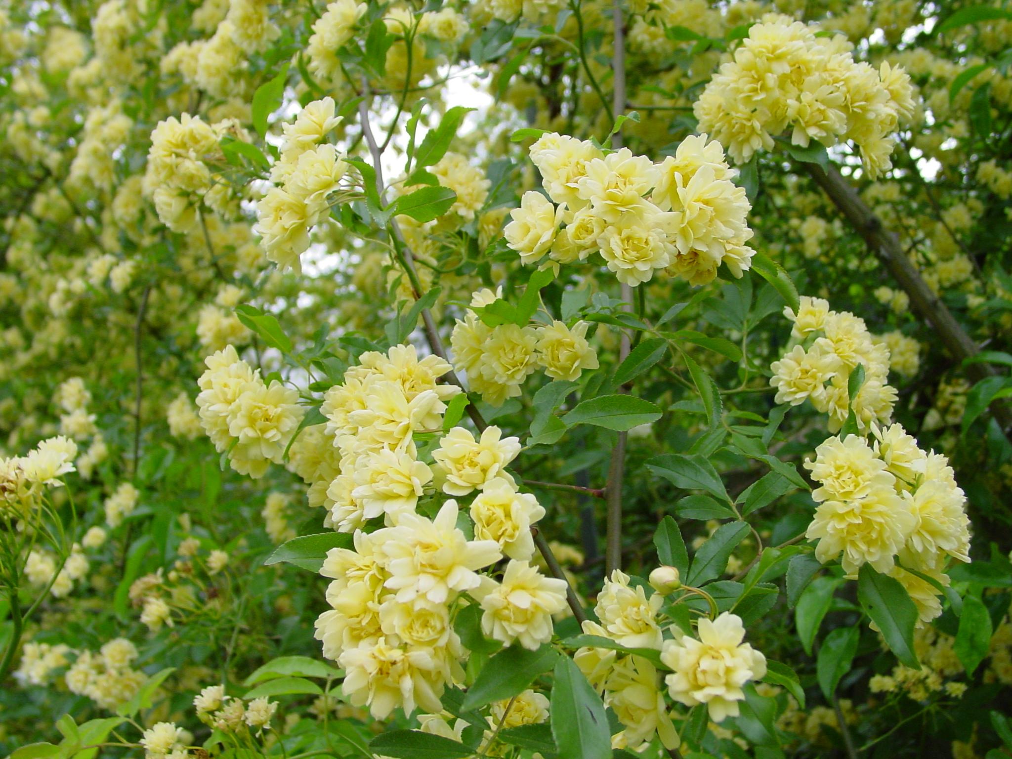 Arbusto A Fiori Gialli rosa banksiae lutea - il giardino azienda floricola